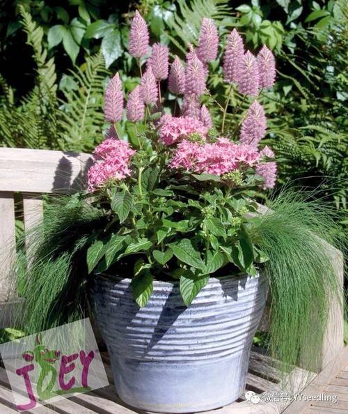 Ptilotus plant