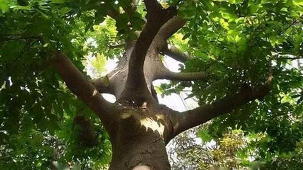 African Fern Pine (Afrocarpus Gracilior) Profile