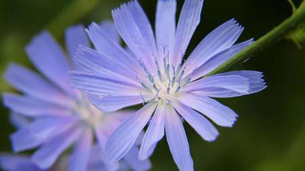 Basket flower (Centaurea americana) profile