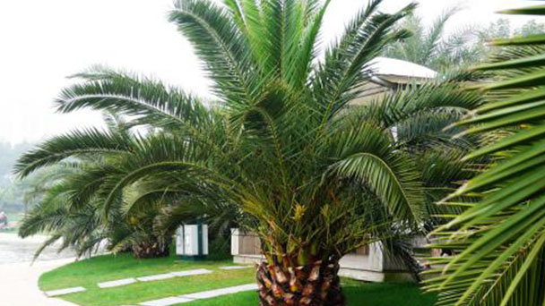 Date palm (Phoenix dactylifera) profile