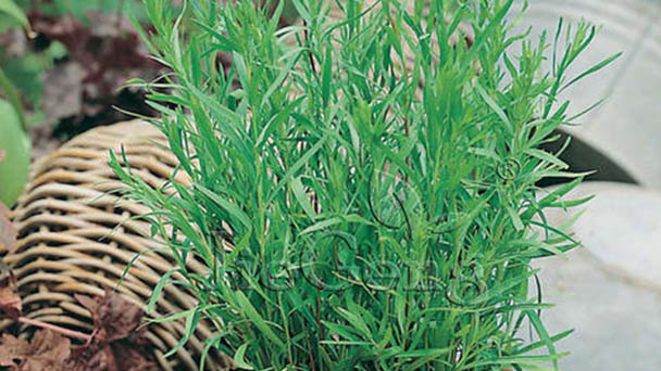 Saffron Crocus (Artemisia dracunculus) profile