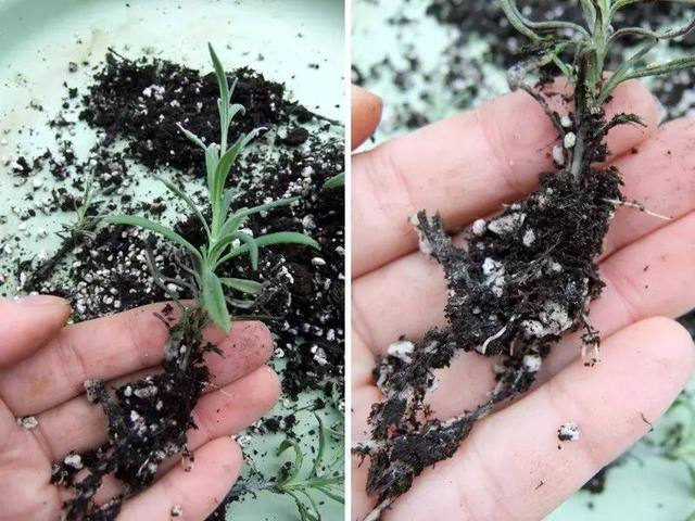 Growing lavender indoors from cutting