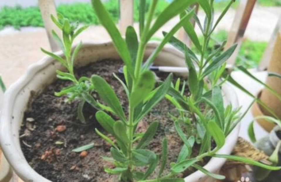 Growing lavender indoors from seed