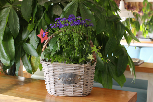 how to grow lavender indoors