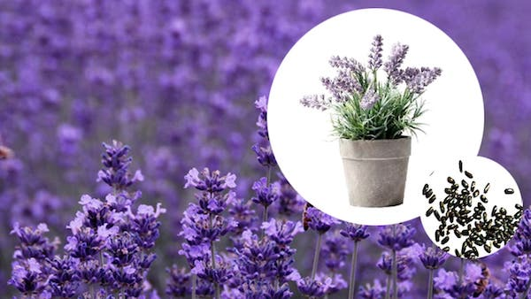How to Grow Lavender Indoors: Growing & Caring Lavender Plants Indoors