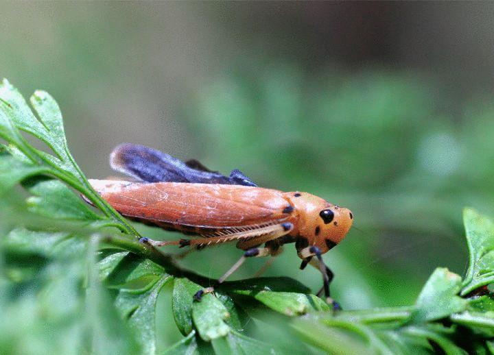 lavender Leafhoppers