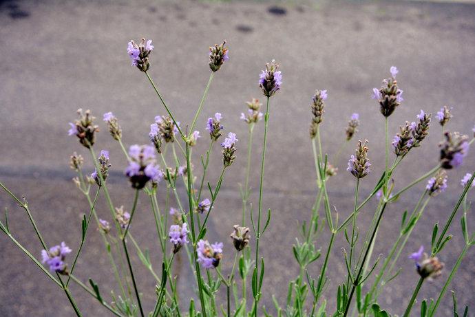 lavender disease