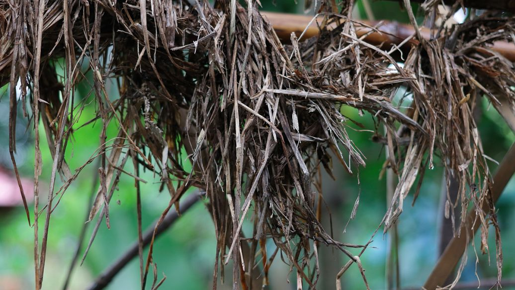 lavender root rot