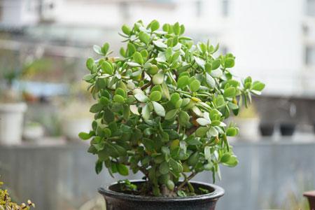 Jade Plant Propagation: 2 Easy Methods to Propagate Jade Plants