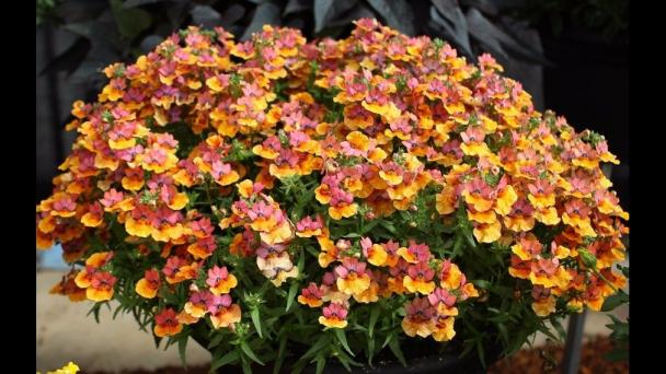 How to grow and care for Nemesias