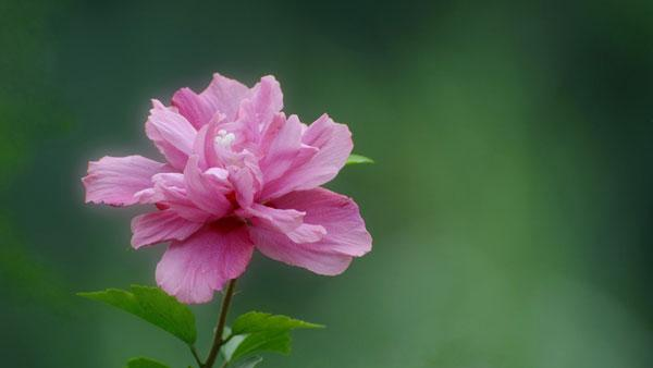 Reasons For No Rose Of Sharon Flowers