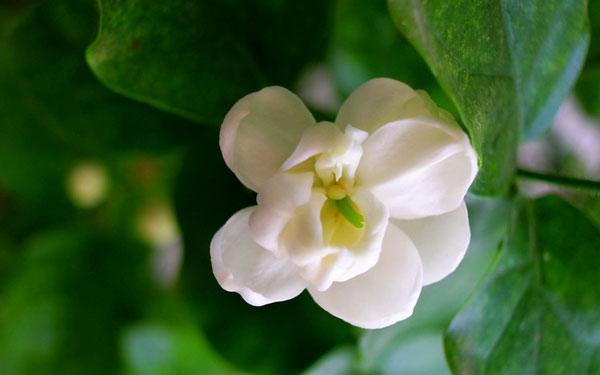 Arabian Jasmine Care: Grow & Care for Jasmium Sambac