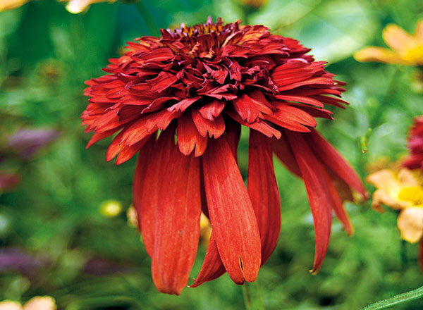 Hot-Papaya-coneflower-echinacea