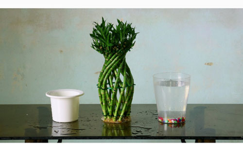 Lucky-Bamboo-in-water