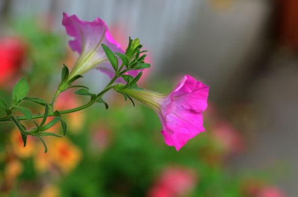 Petunias: Grow & Care for Petunias