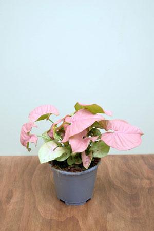 Syngonium-podophyllum-'neon-robusta'