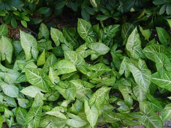 ARROWHEAD PLANT CARE: GROW & CARE FOR SYNGONIUM PODOPHYLLUM