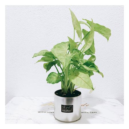 Arrowhead plants