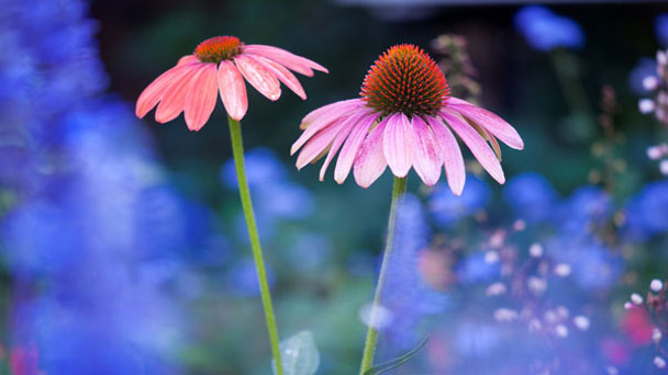 Coneflower Care: Grow &Care for Echinacea