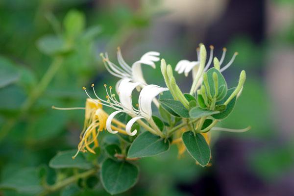 Honeysuckle Vine (Lonicer) Grow & Care Guide