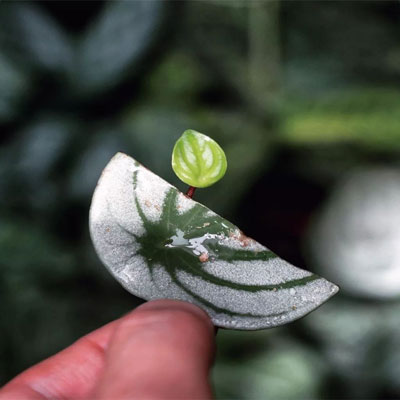 Watermelon Peperomia propagation with leaves