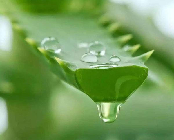 Aloe-Vera-(Aloe-Barbadensis)