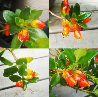 Goldfish-Plant(Nematanthus-Gregarious)