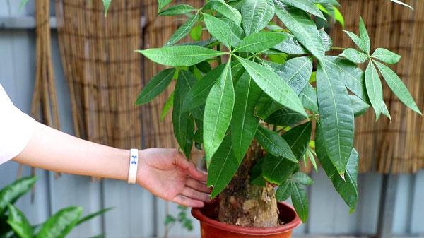Money Tree: Grow & Care for Pachira Aquatica