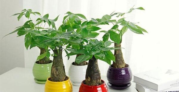 Money-Tree-(Pachira-Aquatica)