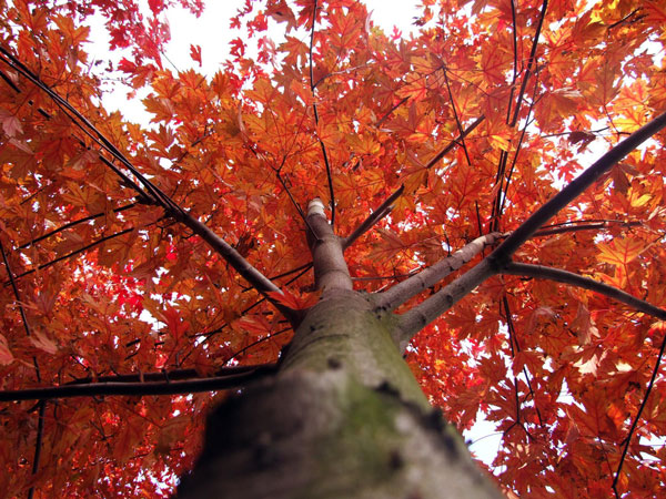 Red-Maple-(Acer-Rubrum)