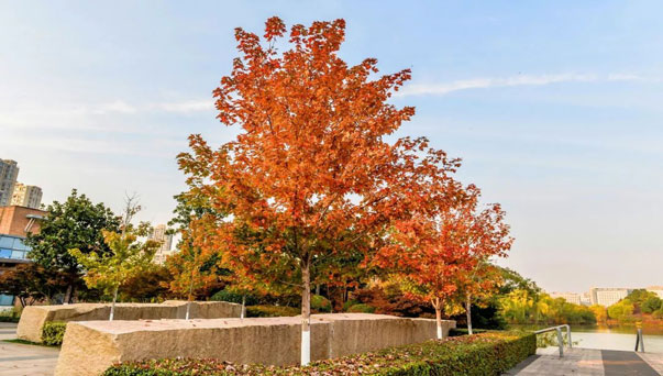 Red Maple: Grow & Care for Acer Rubrum