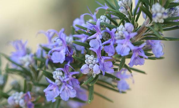 Rosemary-(Salvia-rosmarinus)