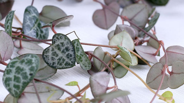 String of Hearts Plant Flower: Grow & Care for Ceropegia woodii