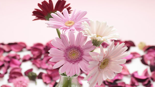 How to Propagate Africa Daisy