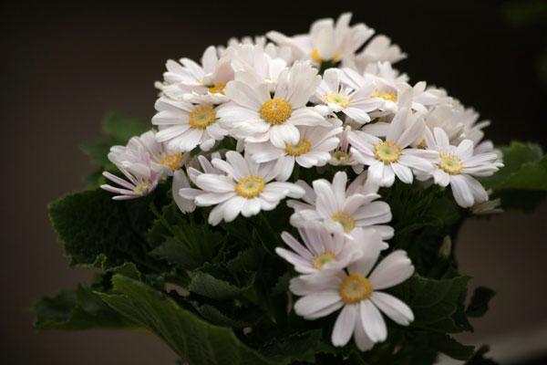 Cineraria-(Pericallis-Cruenta)