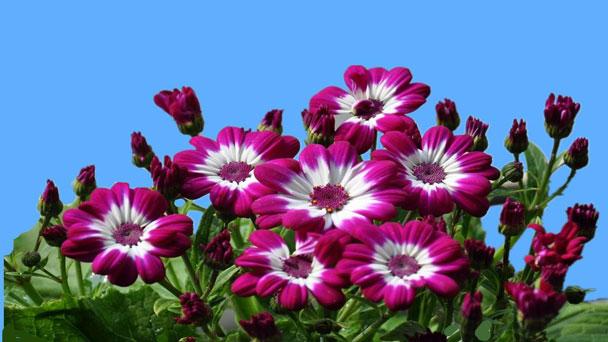 CinerariaFlowers (Pericallis Cruenta) Grow & Care Guide