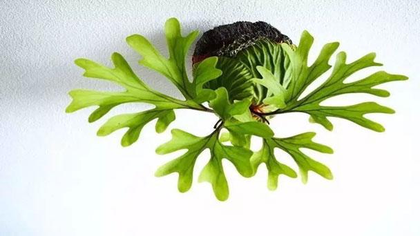 Staghorn Fern (Platycerium Bifurcatum) Care & Growing Guide
