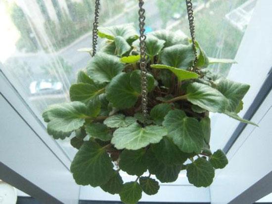 Strawberry-Begonia