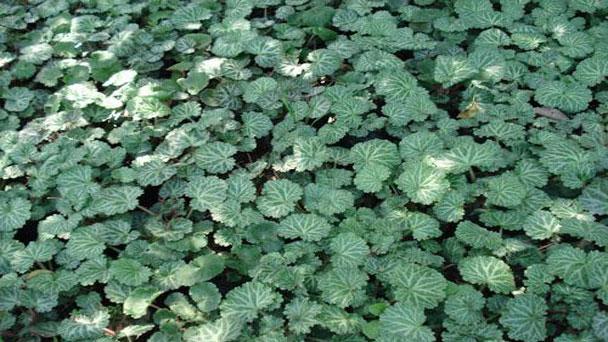 Strawberry Begonia: Grow & Care for Saxifraga Stolonifera