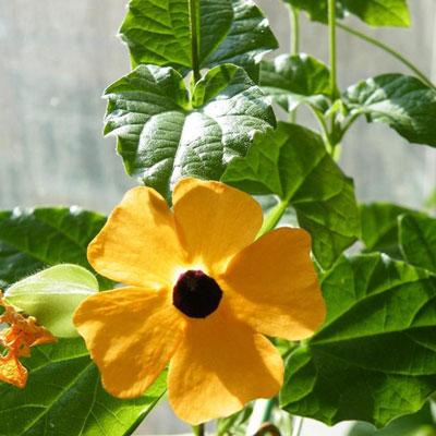 Black-eyed-Susan-Vine-(Thunbergia)
