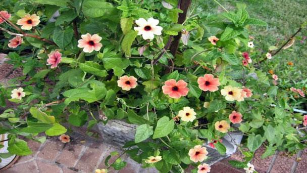 Black-eyed Susan Vine Grow & Care Guide