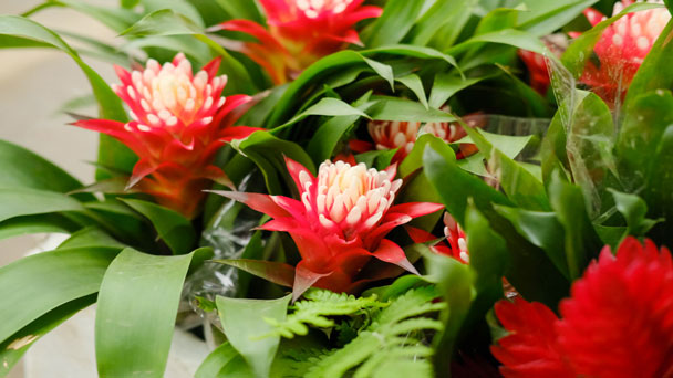 Bromeliad - most common house plant