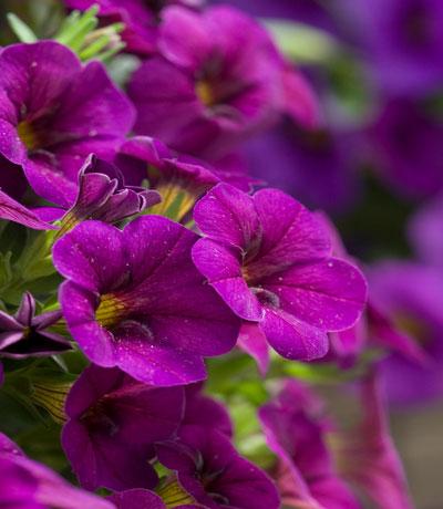 Cabaret-Purple