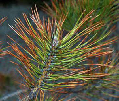 Dothistroma Needle Blight of Pines