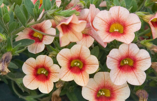 Superbells-Peach-Calibrachoa