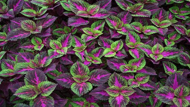 Coleus: Grow & Care for Plectranthus Scutellarioides