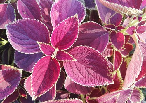 Coleus - most common house plant