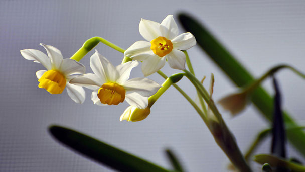 Daffodil: Grow & Care for Narcissus