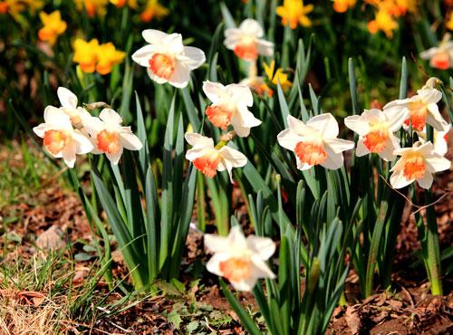 Daffodil(Narcissus)