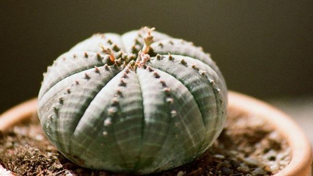 Euphorbia Obesa: Grow & Care for Baseball Plant